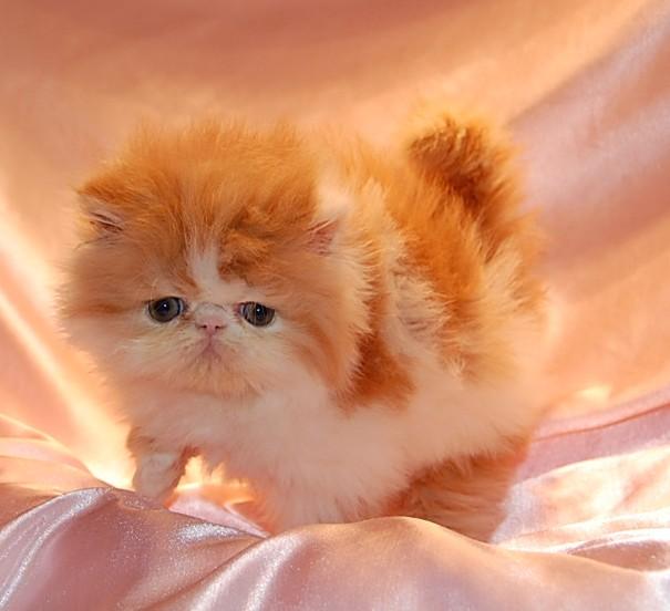 Грация и красота персидских кошек